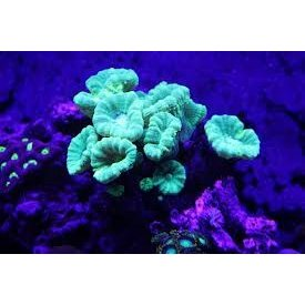 Candy Cane Coral Brown Frag