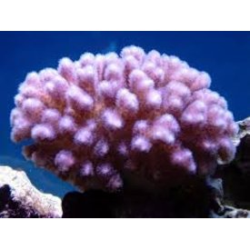 Cats Paw  Coral
