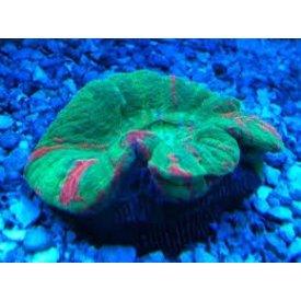 Ultra Grade Donut Coral