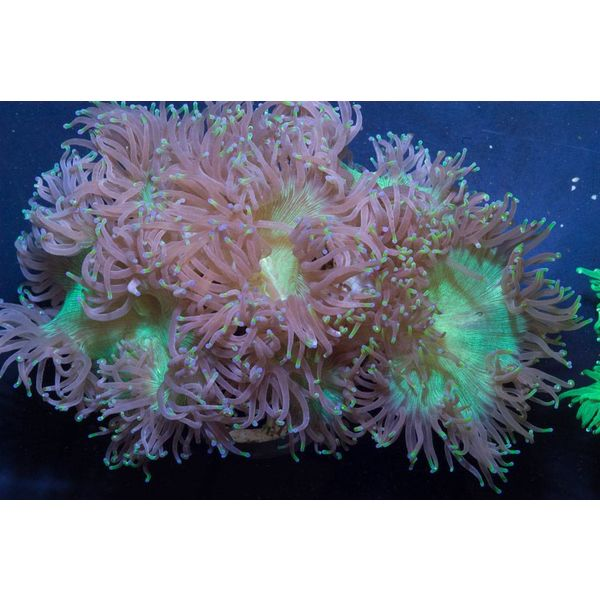 Elegance Coral Green, Small