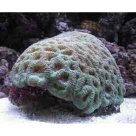 Favia Coral Small