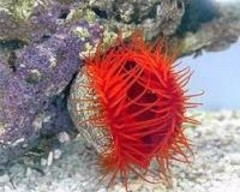 Products tagged with inverts for saltwater aquariums