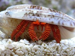 Products tagged with Halloween Hermit Crabs