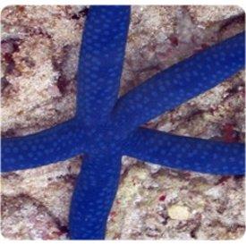 Linckia Blue Starfish