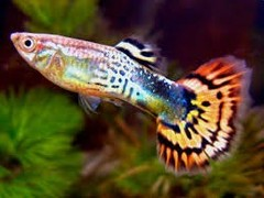 Products tagged with Can guppies live with other fish?