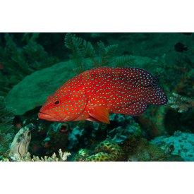 Miniatus Grouper