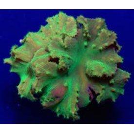 Neon Green Cabbage Leather(Sinularia brassica) 4-6''