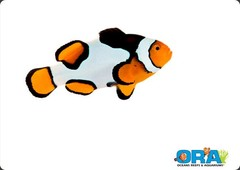 Products tagged with platinum picasso clownfish