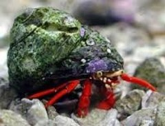 Products tagged with how big do Scarlet Hermit Crab get