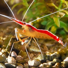 Products tagged with how big do cleaner shrimp get