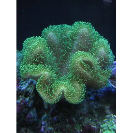 "Toadstool Leather Coral, 2-3"" Green"