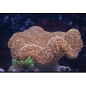 Toadstool Leather Coral, Md