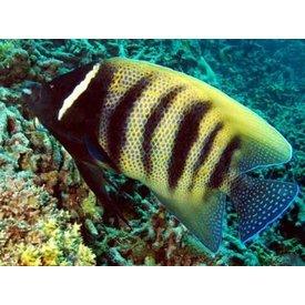 Six Banded Angelfish - Juvenile
