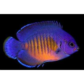 Biota Biota Captive Bred Coral Beauty Angelfish