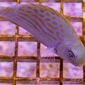 Biota Biota Captive Bred Gold-Lined Rabbitfish