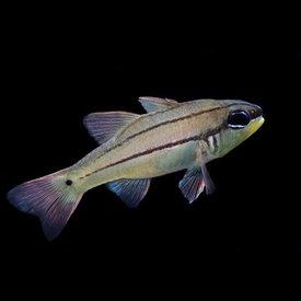 Biota Biota Captive Bred Seal's Cardinalfish