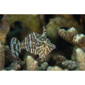 Biota Biota Captive-Bred Radial Filefish