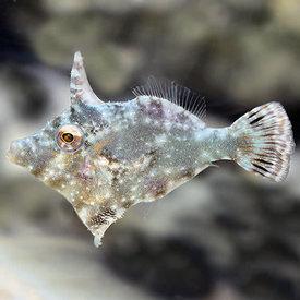 Biota Biota Captive Bred Aiptasia Eating Filefish