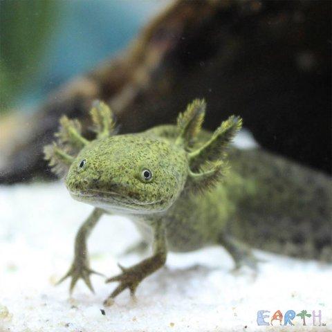Green Axolotl