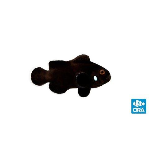Mocha Domino Clownfish