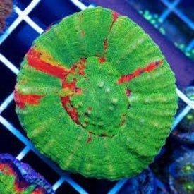 Aussie Scolymia Coral