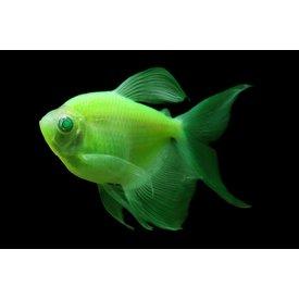 Glofish Electric Green Tetra