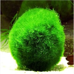 Products tagged with moss ball