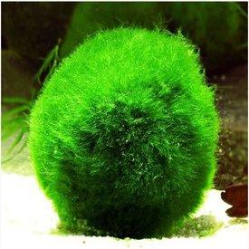 Russian Moss Ball
