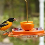 - BIRDS CHOICE ORIOLE-FEST ORIOLE FEEDER 12OZ