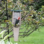 - BIRDS CHOICE RECYCLED 2 CAKE PILEATED SUET FEEDER WITH TAIL PROP