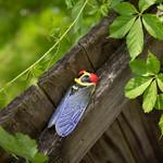 Small Ceramic Cicada — Red Eyes