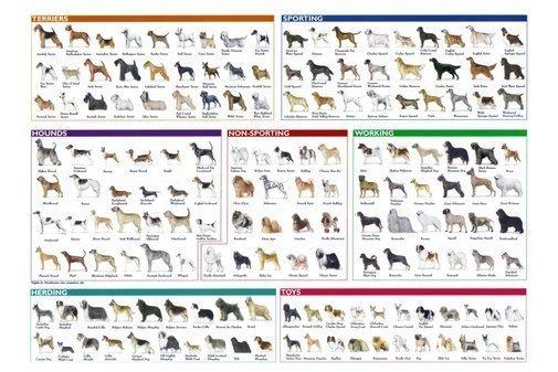 """AKC Breed Poster 38"""" x 25"""
