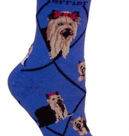 Yorkshire Terrier on Blue Socks