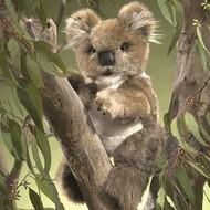Folkmanis Folkmanis Koala Puppet