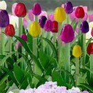 "JTT 95514 Tulips, O Scale, 1"" tall"