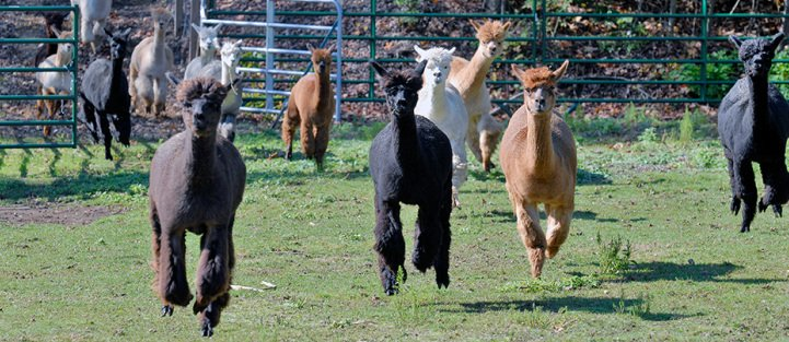Alpaca is....  Hypoallergenic...Warm, Soft and so much more!
