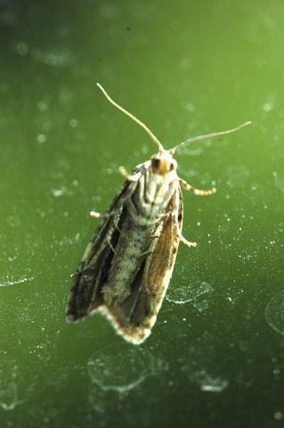 Spruce Moths are here...or just around the corner