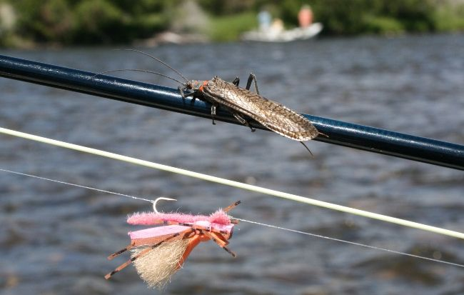 2nd Annual GRG's Montana Salmonfly forecast
