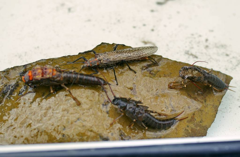 Stonefly Time for Montana Fly Fishing