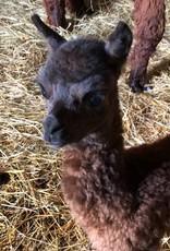 Circus City Adopt an Alpacas
