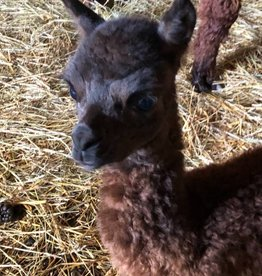 Circus City Adopt an Alpacas