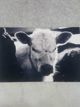 Black + White Cow Wall Art