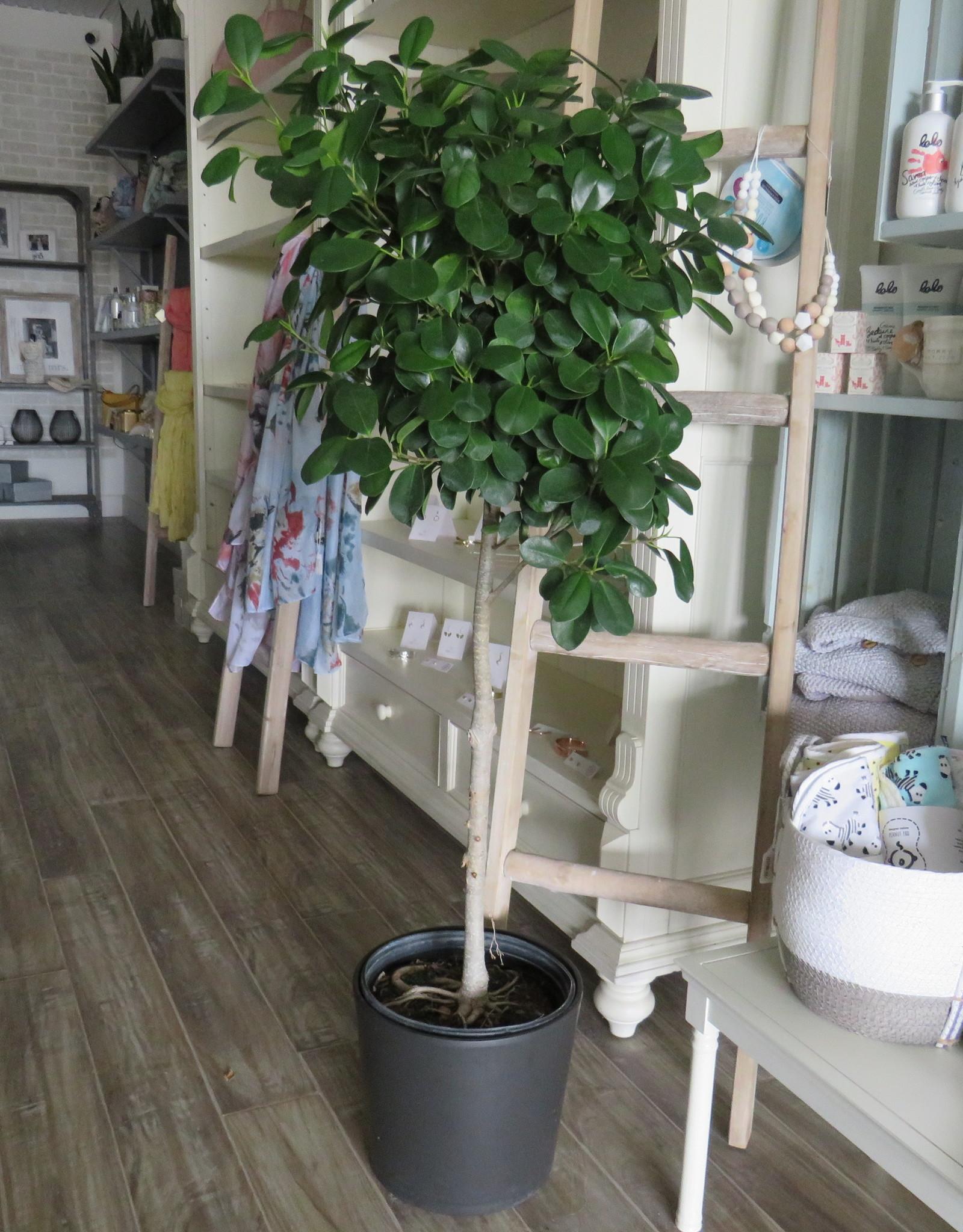 "Ficus Moclame 10"""