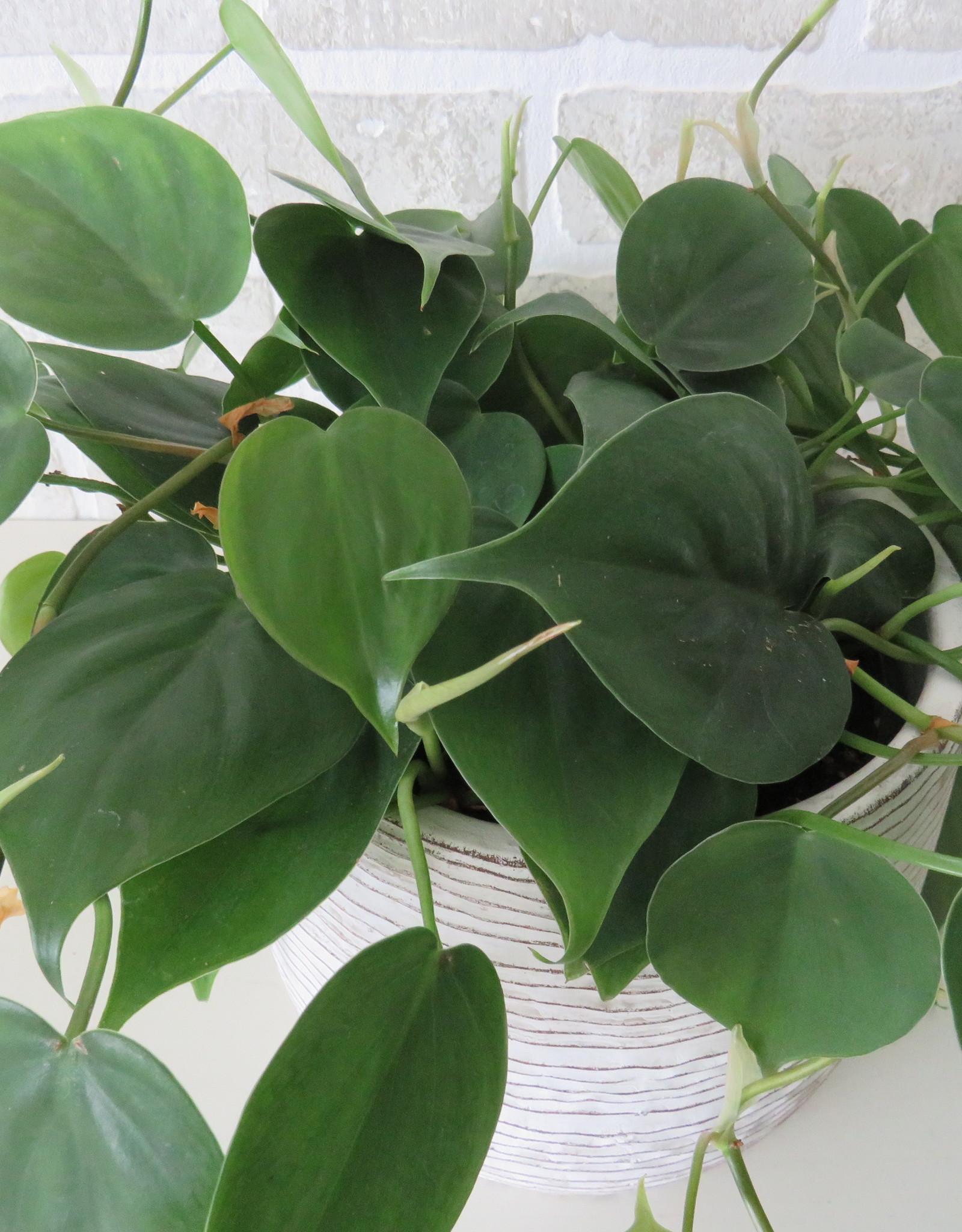 "Philodendron Cordatum 6"""