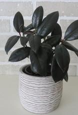 Ficus Elastica (Rubber Plant) 4''