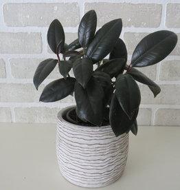 Ficus Elastica (Plante Caoutchouc) 4''