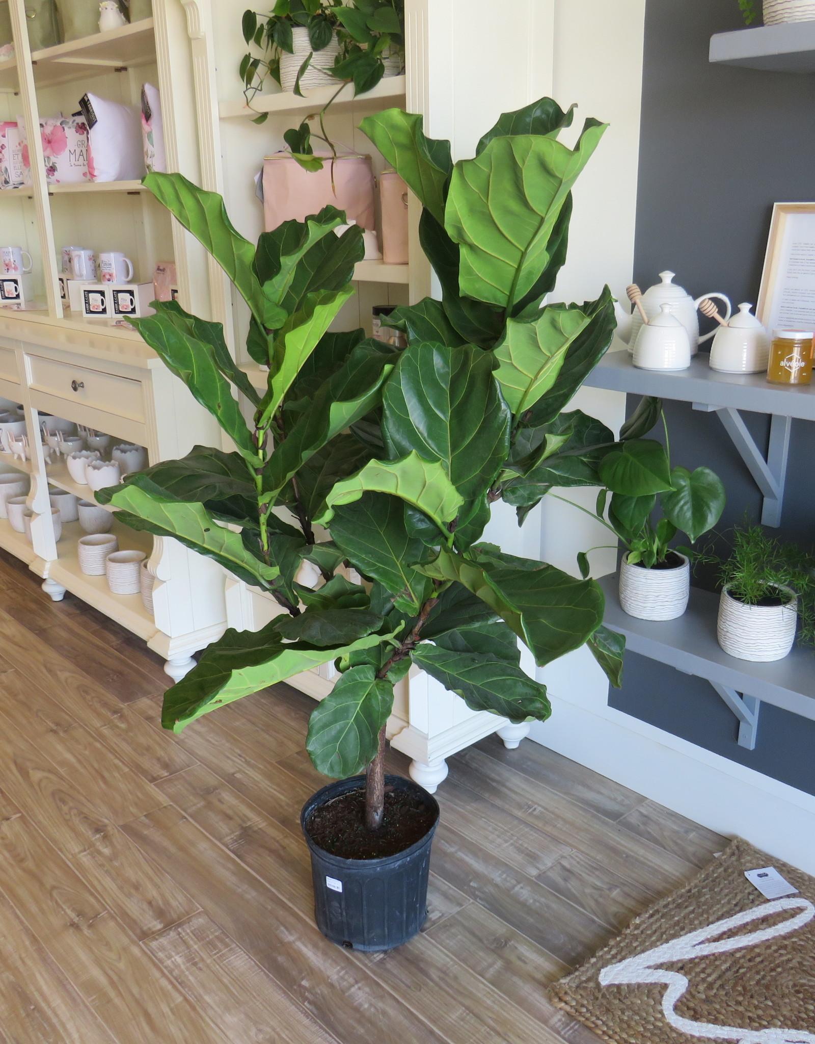 Ficus Lyrata 10''
