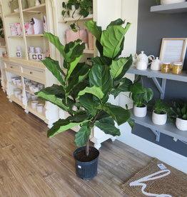 Ficus Lyrata  Tree 10''
