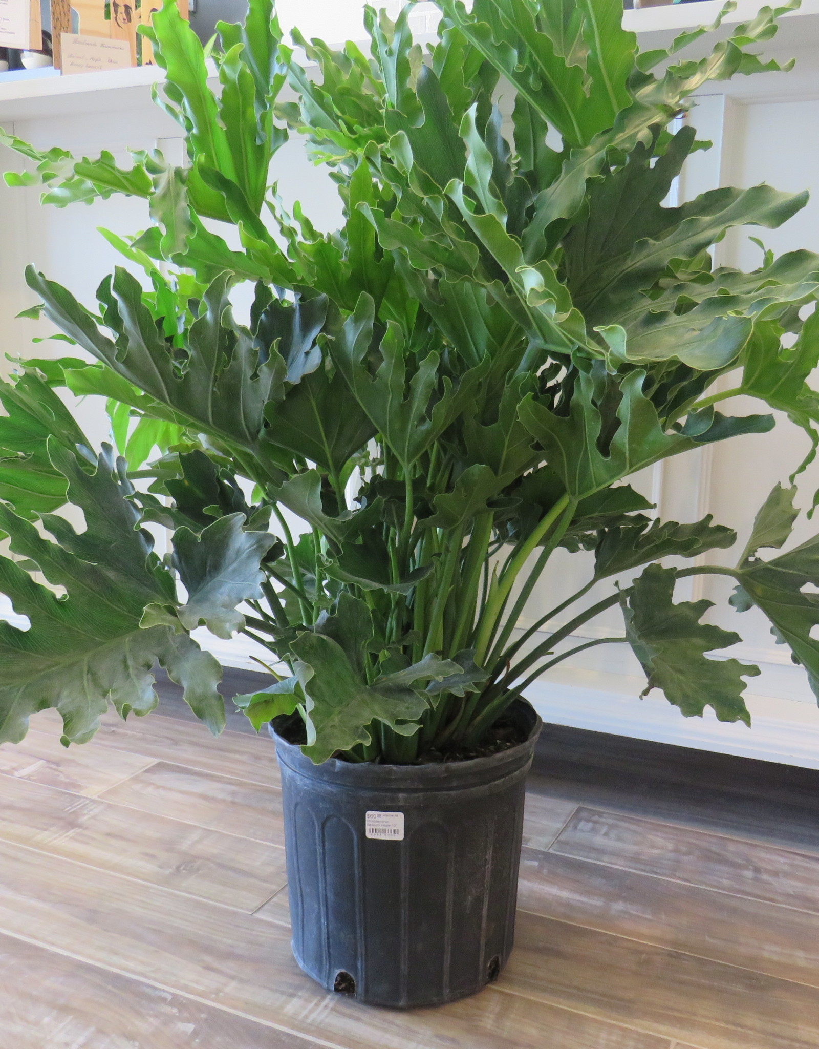Philodendron Selloum Hope 10''