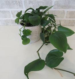 Philodendron Cordatum 4''
